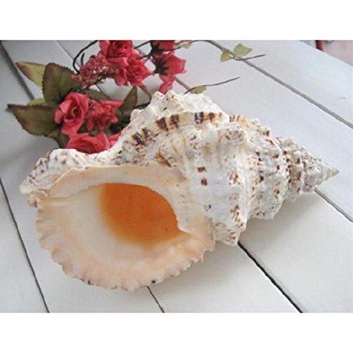 インテリア 法螺貝 貝類 貝殻 飾り 置物 B01IQKRPQC