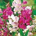 Pack Perennial Sweet Pea lathyrus Mixed (Everlasting Sweet pekings Seeds