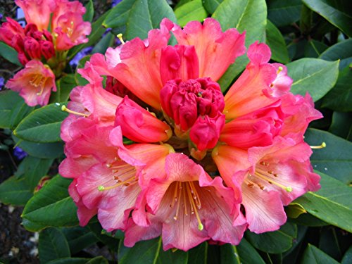 (Rhododendron Unique Marmalade Three Gallon Plant, Nicely Rounded Foliage, Covered in Orange Blooms)