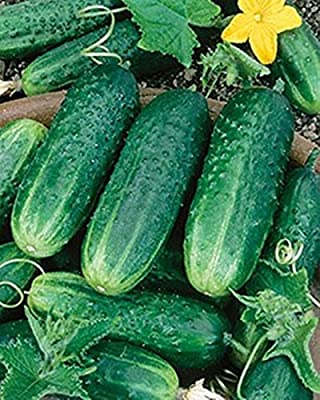 Carolina F1 Hybrid Cucumber 30 Seeds Heavy Bearing Extremely Disease Resistant