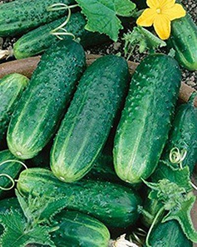 Harvest Cucumber Seeds (Carolina F1 Hybrid Cucumber 25 Seeds Heavy Bearing Extremely Disease Resistant)