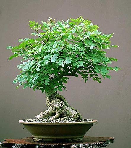 Amazon Com Tree Of Life Bonsai Seeds 20 Seeds Grow A Moringa Tree Bonsai Highly Nutritious Leaves And Seeds Edible And Tasty Ships From Iowa Usa Garden Outdoor