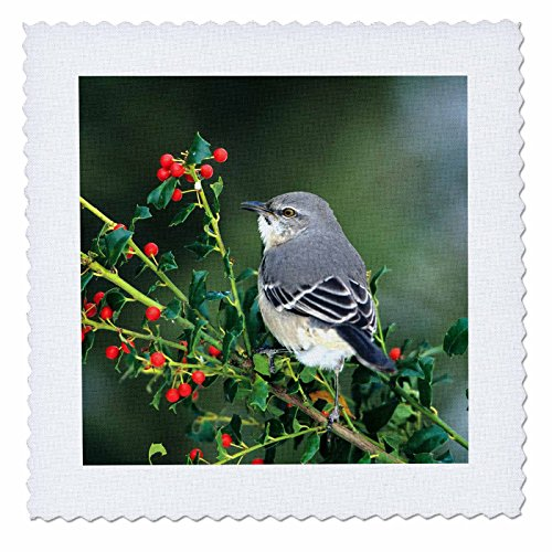 3dRose Danita Delimont - Mockingbird - Northern Mockingbird in China Holly, Marion County, Illinois - 25x25 inch quilt square - Holly China