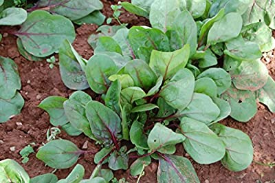 Red kitten Spinach Seeds by Stonysoil Seed Company