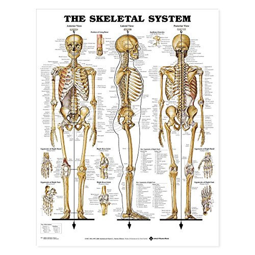 (The Skeletal System Anatomical Chart)