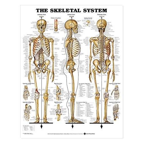 Chart System Anatomical Skeletal (The Skeletal System Anatomical Chart)
