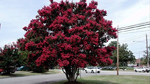 Dynamite Crape Myrtle Lagerstroemia indica 'Whit II' P.P.# 10296 - Healthy Potted Plants - 3 pack by Grower's Solution (Image #1)
