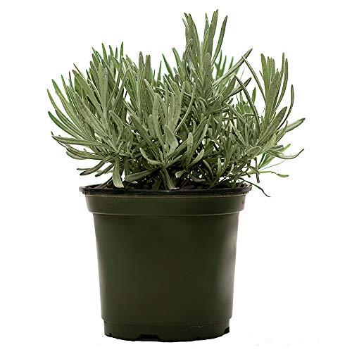 AMERICAN PLANT EXCHANGE English Lavender Fragrant Herb Live Plant, 6