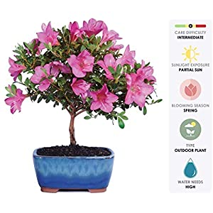 Brussel's Live Satsuki Azalea Outdoor Bonsai Tree 5
