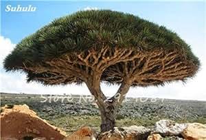 Libre 10 PC raras Semillas Dracaena árbol de Canarias sangre árbol (Dracaena draco) llamativo, exóticas plantas bricojardín 13