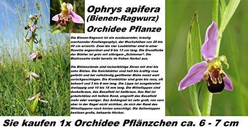 1x Bienen-Ragwurz ( Ophrys apifera ) Orchidee Pflanze Hingucker RAR Zimmerpflanze Orchideen Frisch 1A