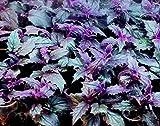 1 Very Gorgeous Purple Velvet (Gynura Aurantiaca) Starter Plant