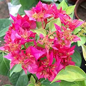 Color Bougainvillea Spectabilis Willd Seeds 100 Seeds (Item No: 20)
