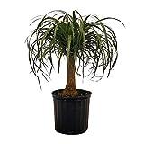 PlantVine Beaucarnea recurvata, Ponytail Palm, Nolina Recurvata, Elephant's Foot Palm - Medium, Tree - 6 Inch Pot (1 Gallon), Live Indoor Plant