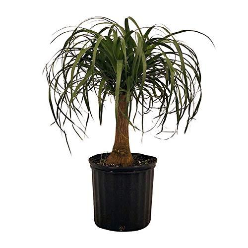 (PlantVine Beaucarnea recurvata, Ponytail Palm, Nolina Recurvata, Elephant's Foot Palm - Medium, Tree - 6 Inch Pot (1 Gallon), Live Indoor Plant)