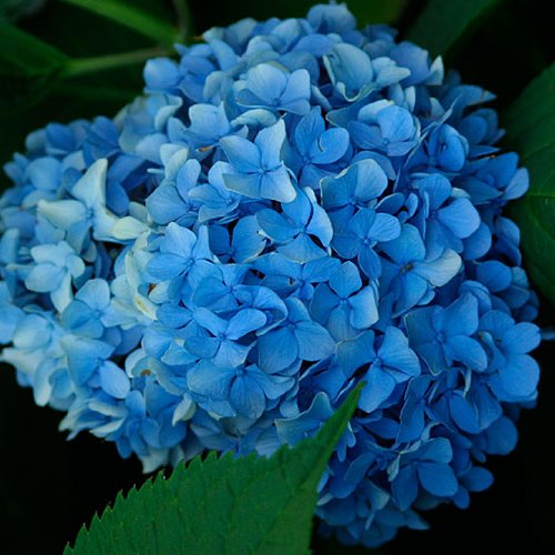Hydrangea Potted Plant - Nikko Blue Hydrangea - Trade Gallon Potted Shrub - Hardy - Healthy - Plant - 1 Plant By Growers Solution