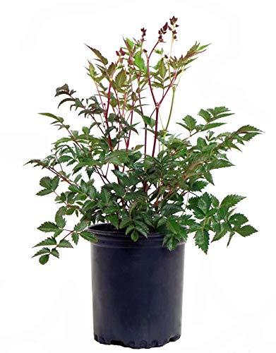 Astilbe japonica 'Montgomery' (False Spirea) Perennial, red flowers, #1 - Size - Astilbe False Spirea