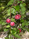10 Seeds Prunus cerasifera Cherry Plum Fruit Tree