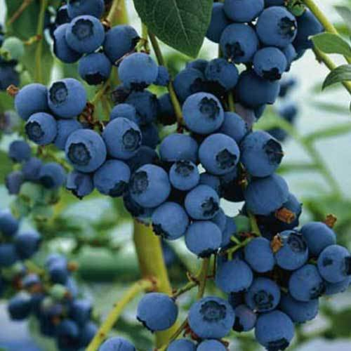 Blueberry Ozarkblue plant late season variety mid blue sweet berries exceptional flavour and heavy cropping Vaccinium corymbosum 9cm FREE DELIVERY