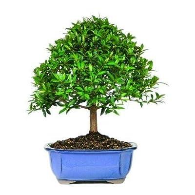 Dwarf Eugenia Bonsai Brush Cherry Tree Plant Dense Foliage 5 Years Best Gift: Garden & Outdoor