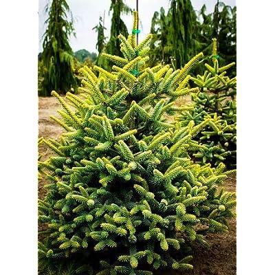 Cheap Fresh Tree Seeds Abies Pinsapo Spanish Fir Get 5 Seeds Easy Grow #GRG01YN : Garden & Outdoor
