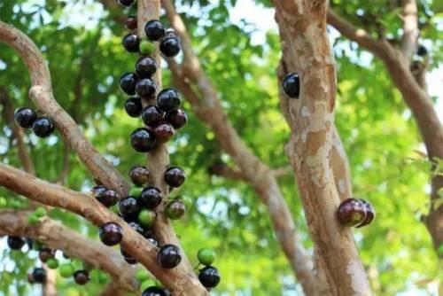 Myrciaria Cauliflora (Jaboticaba)Tropical Fruit Tree by bluestargarden168 (Image #2)