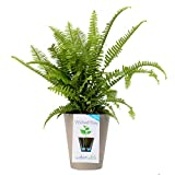 Costa Farms, WaterWick Self-Watering Planter, Premium Live Indoor Fern, Tabletop Plant, Taupe Decorator Pot, Shipped Fresh From Our Farm, Excellent Gift