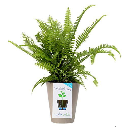 Costa Farms, WaterWick Self-Watering Planter, Premium Live Indoor Fern, Tabletop Plant, Taupe Decorator Pot,Shipped Fresh From Our Farm, Excellent Gift