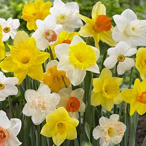 50 Large Assorted Pink Pride, Ice Follies, Unsurpassable, Barret Browning, Red Devon Trumpet, Daffodil Narcissus bulbs Blooms Mid Spring -->>;Deer Won't Eat <<--- - Grow Narcissus Bulbs