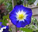 Heirloom 150 Convolvulus Tricolor Seeds Bindweed Morning Glory Aguinaldo Blanco Scammony