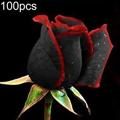 LC-Tools 100Pcs Rare Chinese Black Rose Flower Seeds Perennials Garden Yard Balcony Decor - 100pcs Black Rose Seeds# : Garden & Outdoor
