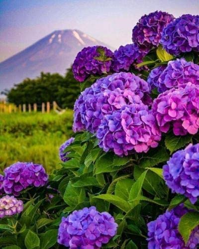 Amazon Com 5 Dark Purple Hydrangea Seeds Perennial Hardy Garden