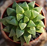 Haworthia retusa – Star Cactus Succulent Plants Green Rare Live Bonsai Echeveria
