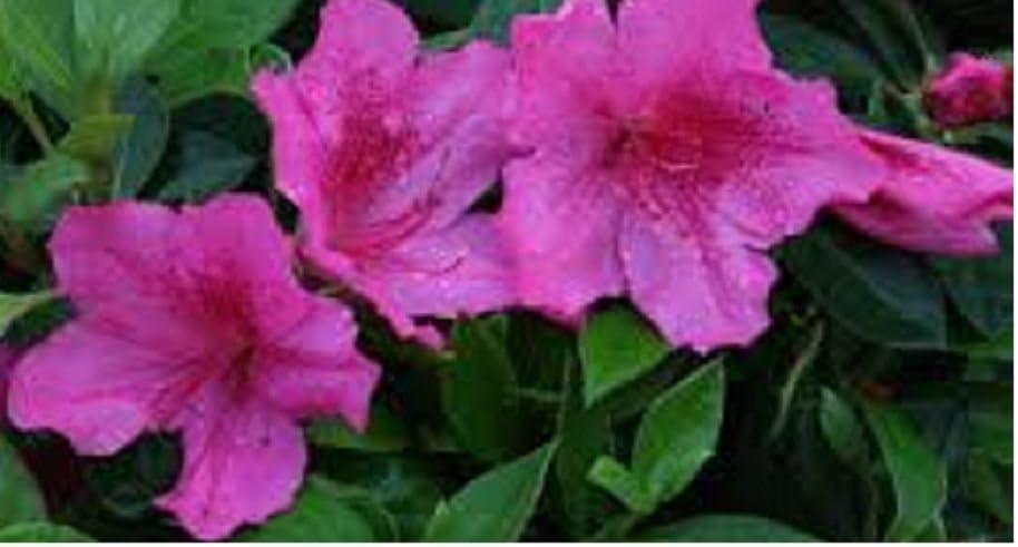 Amazon Com Azalea Southern Charm Ten Plants Spring Flowering