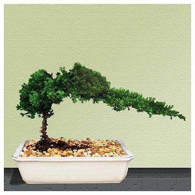 Bonsai Tree live Juniper House Plant Indoor Houseplant Fresh Flower Best Gift: Garden & Outdoor