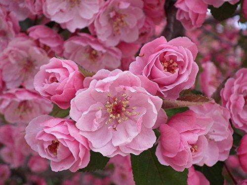10 japanese cherry tree pink cloud oriental sweet prunus serrulata 10 japanese cherry tree pink cloud oriental sweet prunus serrulata flower seeds mightylinksfo