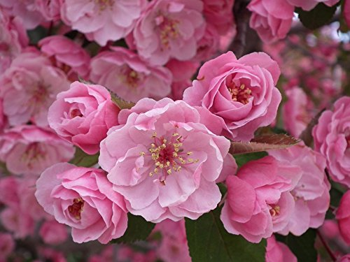 10 JAPANESE CHERRY TREE Pink Cloud Oriental Sweet Prunus Serrulata Flower - Blossom Canada Cherry