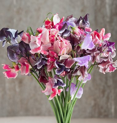 David's Garden Seeds Flower Sweet Pea Spencer Ripple Formula Mix D1807 (Multi Colored) 50 Open Pollinated Seeds