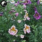 Shopmeeko Buy Schizanthus Pinnatus Flower Semente 100pcs Plant Flower Schizanthus Pinnatus