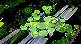 30+ plants Amazon Frogbit Floating Plant (Limnobium Laevigatum)