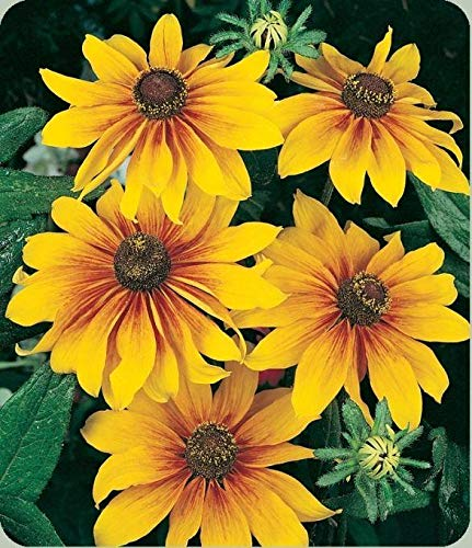 (Gloriosa Daisy Big - Six-inch Blooms!! Will attract butterflies!!(25 - Seeds))