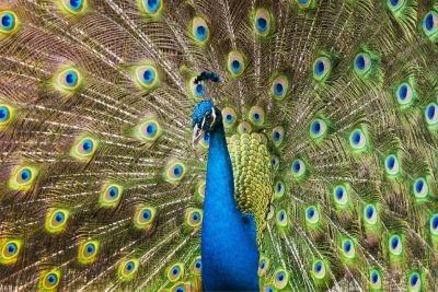 Ready2HangArt Peacock Realism Contemporary Animal Photograph Wall Art Print, Overall: 30