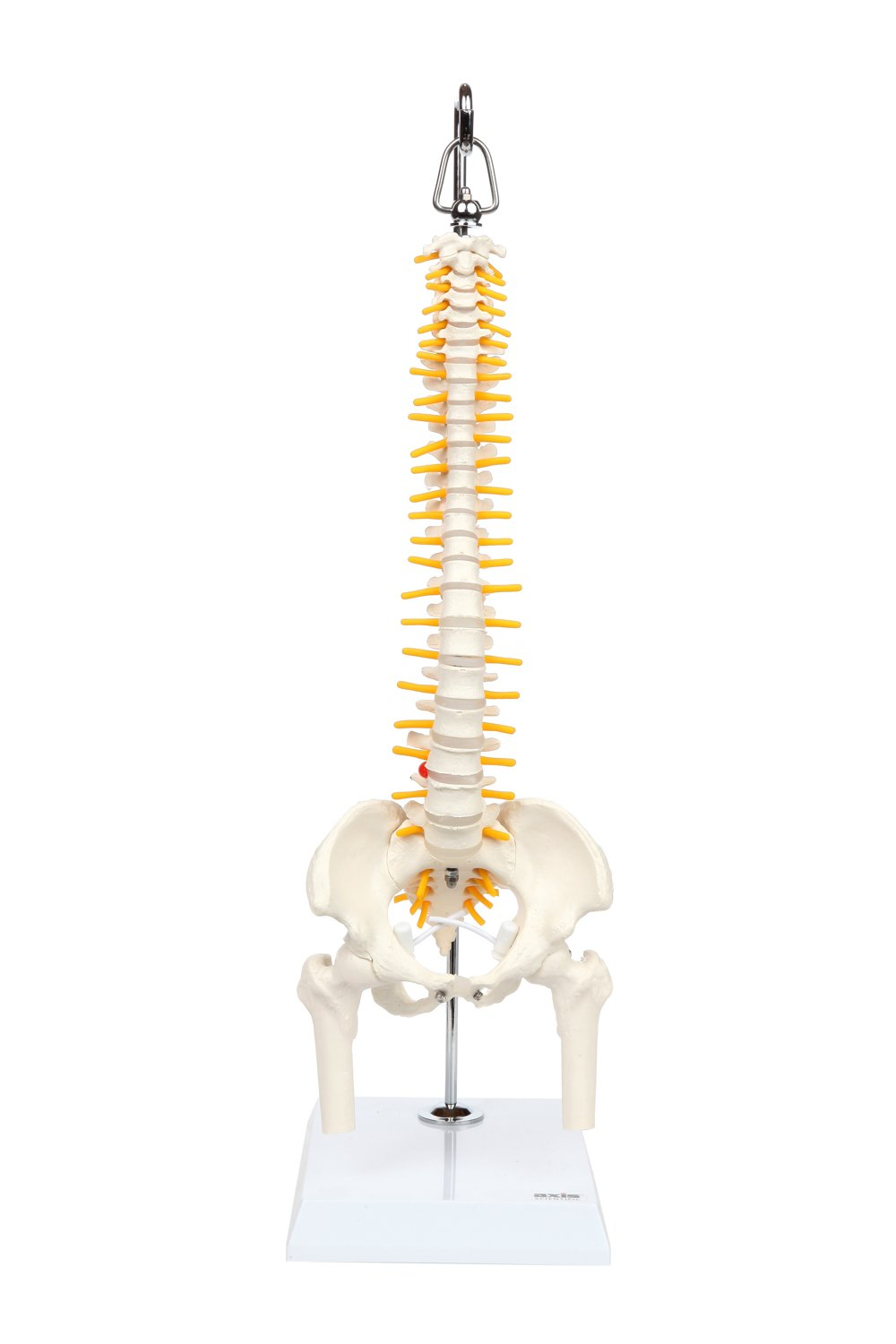 Axis Scientific Mini Flexible Spine Model | Desktop Spinal Cord Model Displays Vertebrae, Nerves, Arteries, Lumbar Spine, and Pelvis | Includes Stand and Detailed Product Manual | 3 Year Warranty A-105162