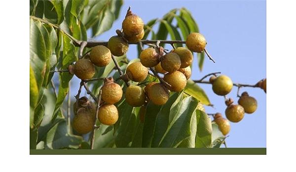5 Organic Wild Harvested Sapindus Mukorossi Seeds Soapnut Seeds