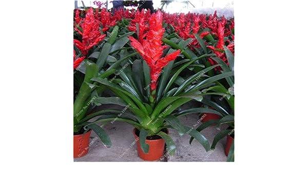 14 prime vista Best-Selling 100 unids Cactus Bromelia Suculenta Raras Bonsai Jard/Ã/n de Flores Mini Planta Suculenta Bonsai Jard/Ã/n de DIY