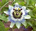 5 Blue Crown Passion Flower Seeds
