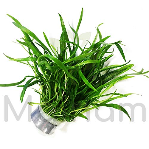 Mainam Brazillian Micro Sword Live Aquarium Freshwater Plants Decorations 3 Days Live Guaranteed