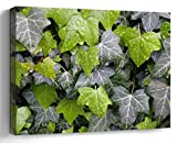 Amymami Wall Art Print Canvas Framed Artwork Home Decor(20x16 in)- Ivy Leaves Wet Plant Pattern Hedera Hedera Helix