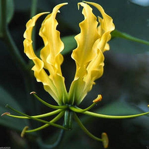 (Gloriosa Lily Lutea Seeds - Yollow/gold -,Flame Lily A.k.a Glory Lily, Fire Lily)