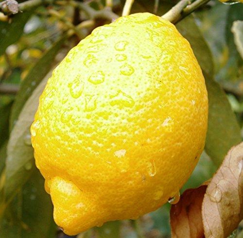 白湯にレモンを加えるとダイエット効果も!レモンをチェック